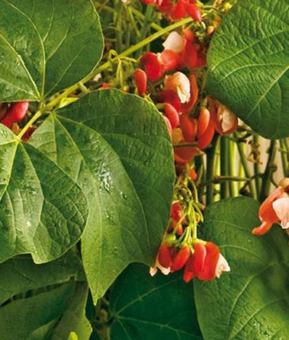 Frö fröer Böna, Blomster- 'Hestia'