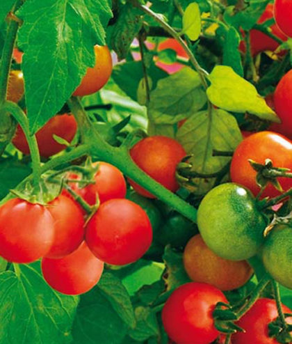 Frö fröer Tomat, Körsbärs- 'Tiny Tim'