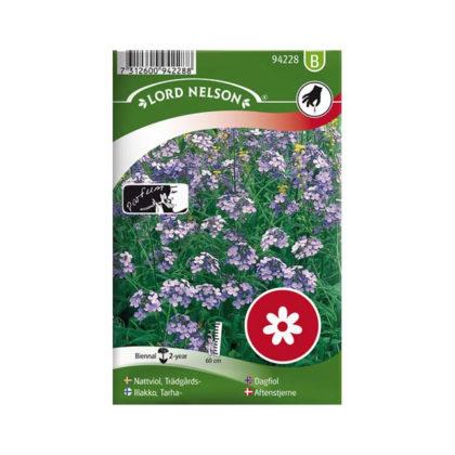 Nattviol, Trädgårds-, violett