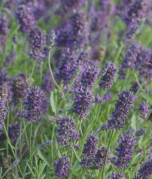 Lavendel 87684