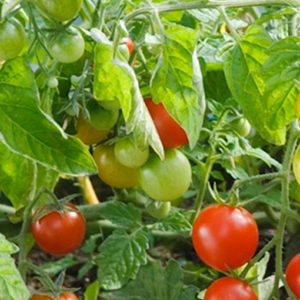 Tomat, Ampel- 'Losetto F1' 91539