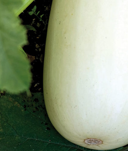 Frö fröer Pumpa, Sommar- 'Long White Bush 2'